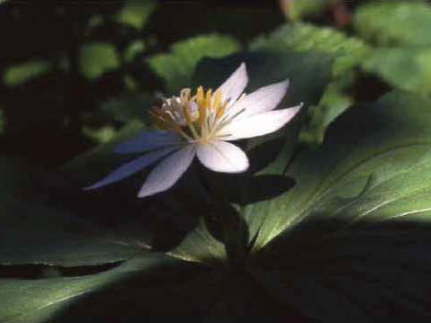 剣岳の花-亜高山帯