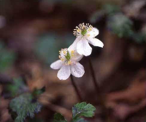 剣岳の花-コシジオウレン