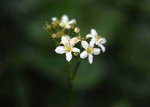 剣岳の花-イワイチョウ