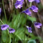 剣岳の花-ムシトリスミレ