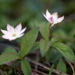 剣岳の花-ツマトリソウ