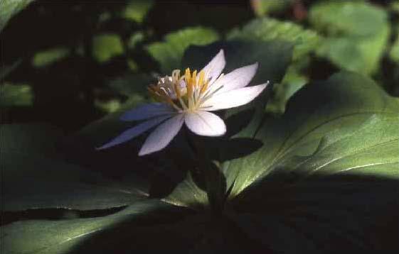 剣岳の花-キヌガサソウ