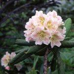 剣岳の花-ハクサンシャクナゲ