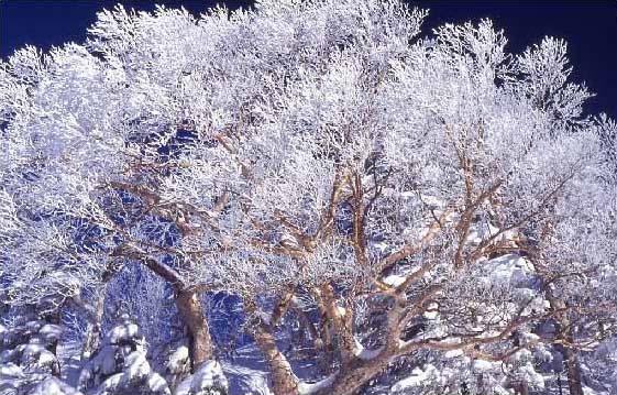 剣岳の花-厳冬のダケンバ
