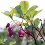剣岳の花-ウラジロヨウラク