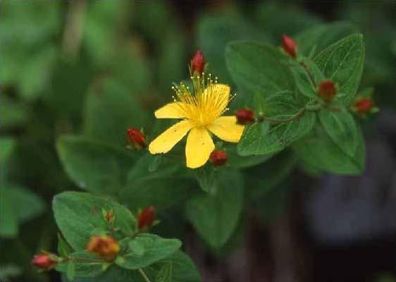 剣岳の花-イワオトギリ