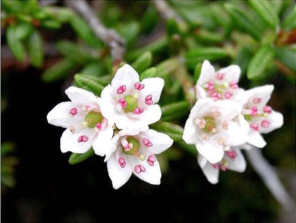 剣岳の花-ミネズオウ