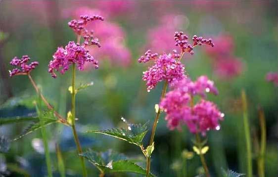 剣岳の花-シモツケソウ