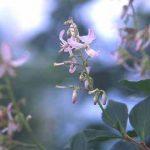 剣岳の花-ミヤマホツツジ