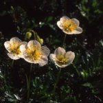 剣岳の花-チングルマ
