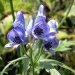 剣岳の花-ハクサントリカブト