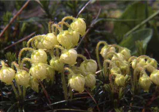 剣岳の花-アオノツガザクラ