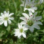剣岳の花-シコタンハコベ