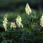 剣岳の花-イワオウギ