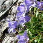 剣岳の花-チシマギキョウ