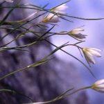剣岳の花-チシマアマナ