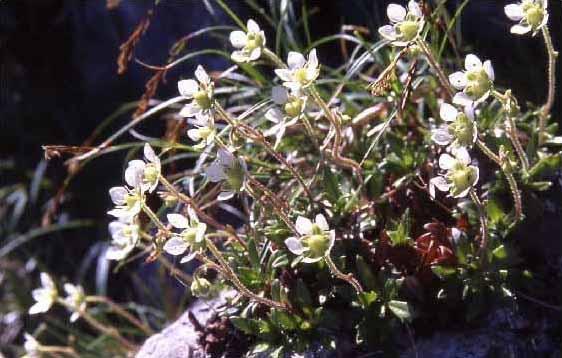 剣岳の花-クモマグサ