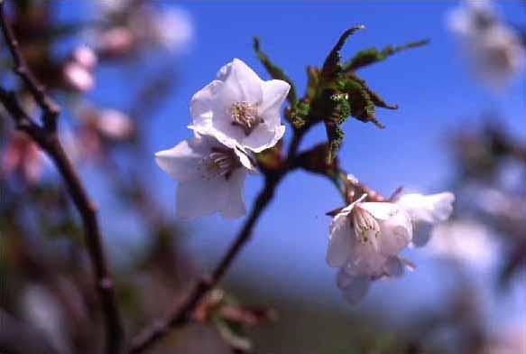剣岳の花-ミネザクラ(タカネザクラ)