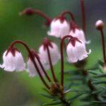 剣岳の花-ツガザクラ