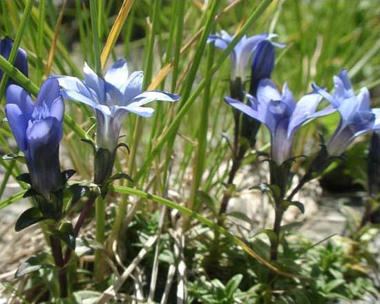 剣岳の花-ミヤマリンドウ