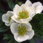剣岳の花-ハクサンイチゲ