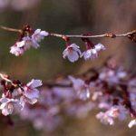 剣岳の花-キンキマメザクラ