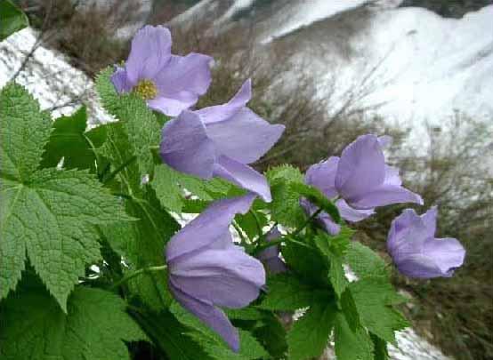 剣岳の花-シラネアオイ