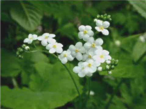 剣岳の花-タチカメバソウ