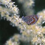 剣岳の花-ヒメシジミ