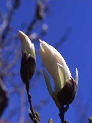 剣岳の花-タムシバ(ニオイコブシ)