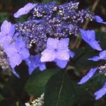 剣岳の花-エゾアジサイ