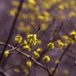 剣岳の花-ダンコウバイ
