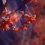 剣岳の花-マユミ