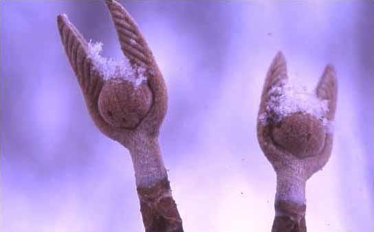 剣岳の花-オオカメノキの冬芽