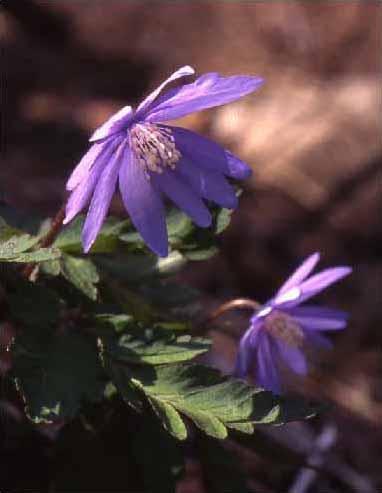 剣岳の花-キクザキイチゲ