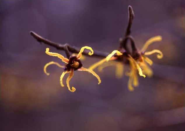 剣岳の花-マルバマンサク