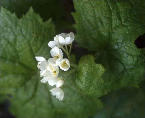 剣岳の花-サンカヨウ