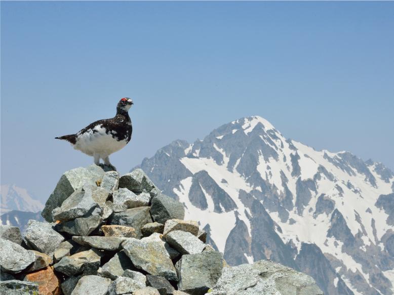 剱岳と雷鳥 (別山)